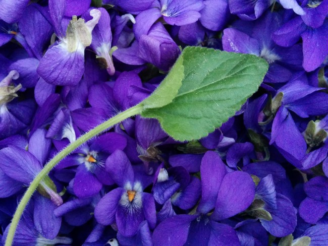Violetes